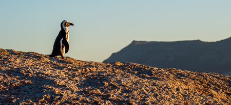 penguins on beach: African penguin  on the big boulder in sunset light. African penguin ( Spheniscus demersus) also known as the jackass penguin and black-footed penguin. Boulders colony. Cape Town. South Africa Stock Photo