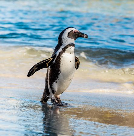 Pingüino africano en la playa de arena. Pingüinos africanos (Spheniscus demersus), también conocido como el pingüino de jackass y el pingüino de patas negro. Cantos rodados colonia. Ciudad del Cabo. Sudáfrica