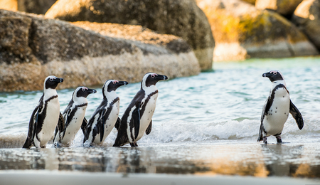 jackass: African penguin  on the sandy beach. African penguin ( Spheniscus demersus) also known as the jackass penguin and black-footed penguin. Boulders colony. Cape Town. South Africa