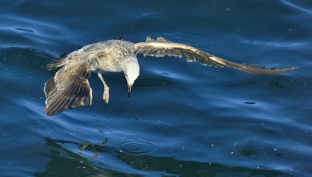 Flying Juvenile Kelp gull (Larus dominicanus), also known as the Dominican gull and Black Backed Kelp Gull. Blue water of the ocean Background. False Bay, South Africa
