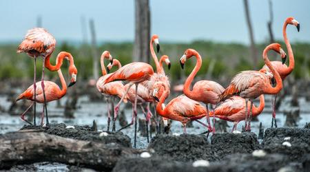American Flamingos or Caribbean flamingos ( Phoenicopterus ruber ruber). Colony of Flamingo on the  nests. Rio Maximo, Camaguey, Cuba. Stock Photo