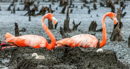 maximo: American Flamingos or Caribbean flamingos ( Phoenicopterus ruber ruber). Colony of Flamingo on the  nests. Rio Maximo, Camaguey, Cuba. Stock Photo
