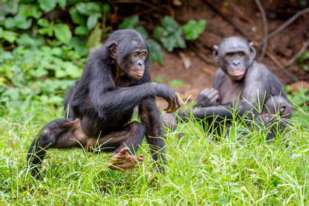 pan paniscus: Running Bonobo in natural habitat on Green natural background. The Bonobo ( Pan paniscus), called the pygmy chimpanzee. Democratic Republic of Congo. Africa Stock Photo