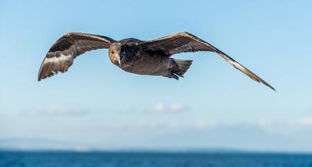 high flier: Great Skua ( Catharacta skua ) in flight on blue ocean water background