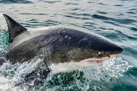 apical: Great White Shark (Carcharodon carcharias) in ocean water an attack. Hunting of a Great White Shark (Carcharodon carcharias). South Africa