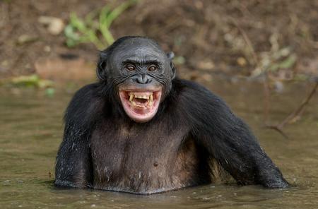 Schimpanse Bonobo im Wasser mit Vergnügen und lächelt. Bonobo, der im Wasser steht, sucht nach der Frucht, die in Wasser fiel. Bonobo (Pan-Paniscus). Demokratische Republik Kongo. Afrika Natürlicher Lebensraum.