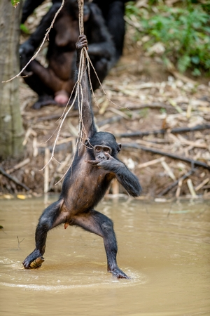 pan paniscus: Wild juvenile Bonobo hanging from lianas and drink from pond. Natural habitat. The Bonobo ( Pan paniscus), called the pygmy chimpanzee. Democratic Republic of Congo. Africa Stock Photo