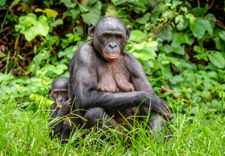 pan paniscus: Mother and Cub of Bonobo in natural habitat. Close up Portrait . Green natural background. The Bonobo ( Pan paniscus), called the pygmy chimpanzee. Democratic Republic of Congo. Africa Stock Photo