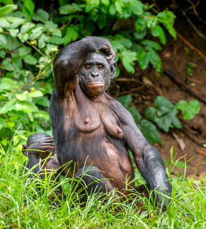 bonobo: Adult female of Bonobo with cub on the Green natural background in natural habitat. The Bonobo Pan paniscus, called the pygmy chimpanzee. Democratic Republic of Congo. Africa Stock Photo