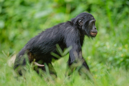 pan paniscus: Bonobo male walk in natural habitat on Green natural background. The Bonobo ( Pan paniscus), called the pygmy chimpanzee. Democratic Republic of Congo. Africa