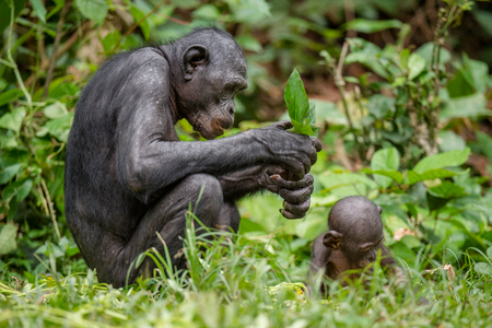 Mother and Cub of Bonobo in natural habitat. Close up Portrait . Green natural background. The Bonobo ( Pan paniscus), called the pygmy chimpanzee. Democratic Republic of Congo. Africa Stock Photo