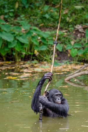 pan paniscus: Bonobo in the water. Natural habitat. Green natural background. The Bonobo ( Pan paniscus), called the pygmy chimpanzee. Democratic Republic of Congo. Africa
