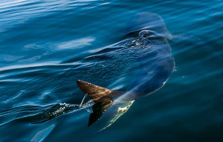 Grand requin blanc sous l'eau. Grand requin blanc (Carcharodon carcharias) dans l'eau de l'océan Pacifique près de la côte de l'Afrique du Sud