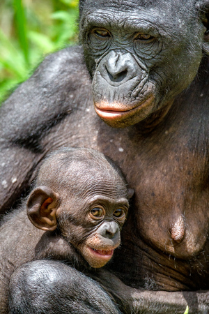 bonobo: Close up Portrait Mother and Cub of Bonobo in natural habitat. Green natural background. The Bonobo ( Pan paniscus), called the pygmy chimpanzee. Democratic Republic of Congo. Africa