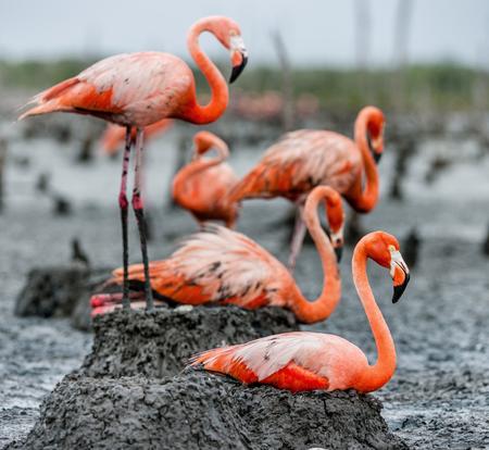 American Flamingos or Caribbean flamingos ( Phoenicopterus ruber ruber). Colony of Flamingo the on nests. Rio Maximo, Camaguey, Cuba.