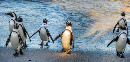 penguins on beach: African penguins ( Spheniscus demersus). African penguins walk out of the ocean on the sandy beach. African penguin ( Spheniscus demersus) also known as the jackass penguin and black-footed penguin. Stock Photo