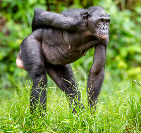 pan paniscus: Adult female of Bonobo on the Green natural background in natural habitat. The Bonobo ( Pan paniscus), called the pygmy chimpanzee. Democratic Republic of Congo. Africa
