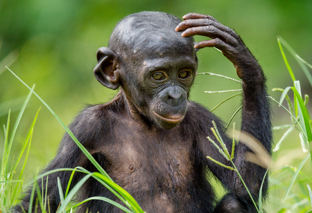 pan paniscus: Close up Portrait of Bonobo Cub  in natural habitat. Green natural background. The Bonobo ( Pan paniscus), called the pygmy chimpanzee. Democratic Republic of Congo. Africa Stock Photo