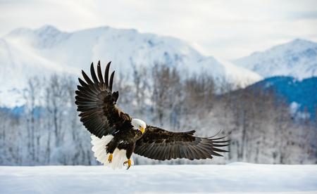 Volwassen Bald Eagle (Haliaeetus leucocephalus washingtoniensis) tijdens de vlucht. Alaska in de sneeuw