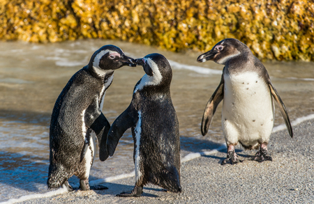 flightless: Kissing African penguins on the beach. African penguin ( Spheniscus demersus) also known as the jackass penguin and black-footed penguin. Boulders colony. Cape Town. South Africa Stock Photo