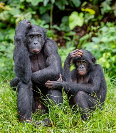 Bonobos in natural habitat on Green natural background. The Bonobo ( Pan paniscus), called the pygmy chimpanzee. Democratic Republic of Congo. Africa Stock Photo