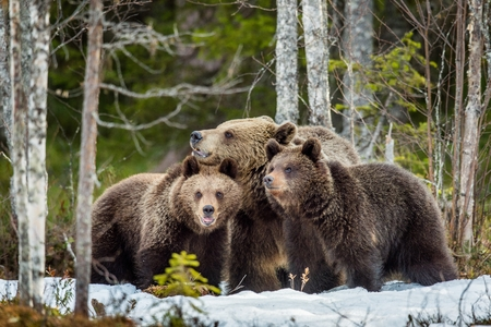 suckle: She-bear and bear-cubs. Adult female of Brown Bear (Ursus arctos) with cubs on the snow in spring forest. Stock Photo