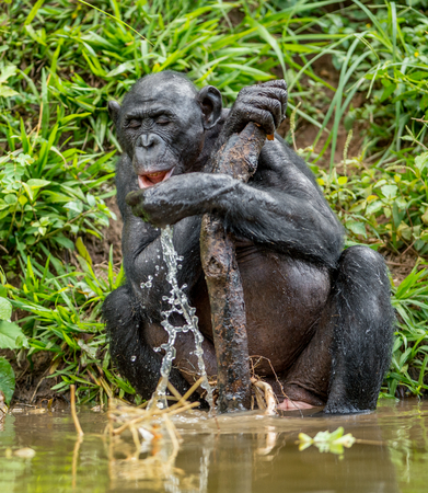 pan paniscus: The adult Bonobo drink water. Natural habitat. Green natural background. The Bonobo ( Pan paniscus), called the pygmy chimpanzee. Democratic Republic of Congo. Africa Stock Photo