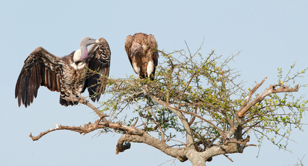 White-backed vultures (Gyps africanus) sitting and looking on a tall tree Stock Photo