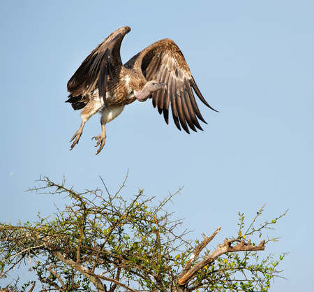 Flying White-backed vulture (Gyps africanus)