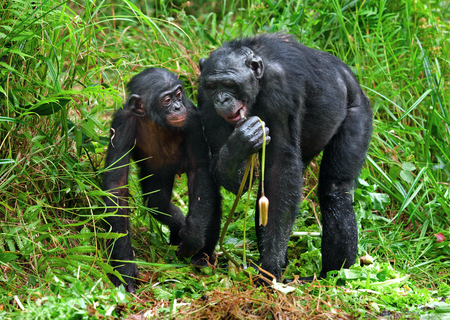 pan paniscus: Bonobos and lily. The Bonobo ( Pan paniscus), called the pygmy chimpanzee.rare endemic species. Democratic Republic of Congo. Africa Stock Photo