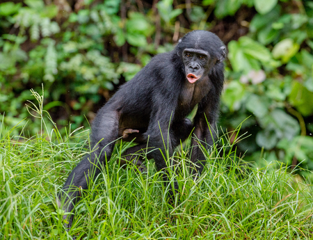 pan paniscus: Bonobo Cub  in natural habitat. Close up Portrait.  Green natural background. The Bonobo ( Pan paniscus), called the pygmy chimpanzee. Democratic Republic of Congo. Africa