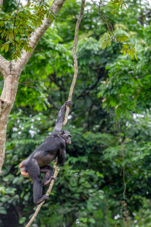 pan paniscus: Bonobo on the branch of the tree in natural habitat. Green natural background. The Bonobo ( Pan paniscus), called the pygmy chimpanzee. Democratic Republic of Congo. Africa