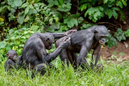 rain forest animal: Bonobos in natural habitat on Green natural background. The Bonobo ( Pan paniscus), called the pygmy chimpanzee. Democratic Republic of Congo. Africa Stock Photo