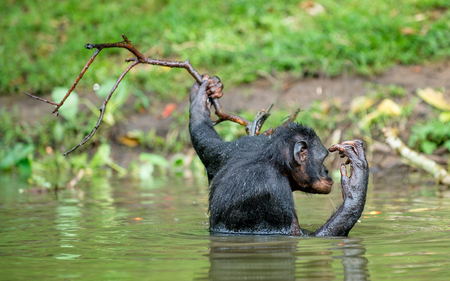 pan paniscus: Bonobo in the water. Natural habitat. Green natural background. The Bonobo (Pan paniscus), called the pygmy chimpanzee. Democratic Republic of Congo. Africa
