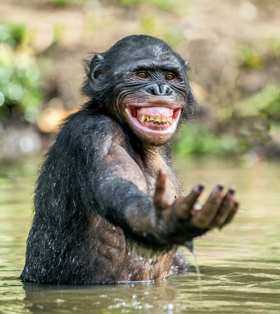 pan paniscus: Smiling Bonobo in the water.  Bonobo in the water with pleasure and smiles. Bonobo standing in pond looks for the fruit which fell in water. Bonobo (Pan paniscus). Democratic Republic of Congo. Africa