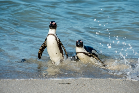 penguins on beach: African penguins walk out of the ocean on the sandy beach. African penguin (Spheniscus demersus) also known as the jackass penguin and black-footed penguin. Boulders colony. Cape Town. South Africa