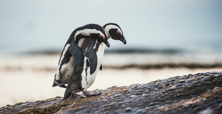 flightless: African penguins during mating season. African penguin ( Spheniscus demersus) also as the jackass penguin and black-footed penguin. Boulders colony. South Africa Stock Photo