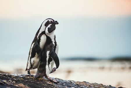 flightless: Kissing Penguins. African penguins during mating season. African penguin ( Spheniscus demersus) also as the jackass penguin and black-footed penguin. Boulders colony. South Africa