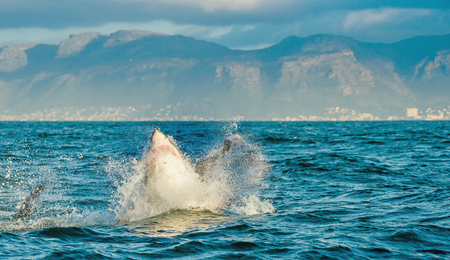 breaching: Great White Shark (Carcharodon carcharias) breaching in an attack. Hunting of a Great White Shark (Carcharodon carcharias). South Africa