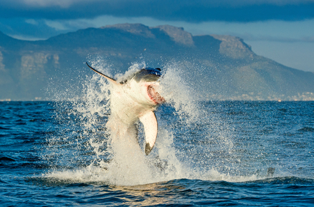 apical: Great White Shark (Carcharodon carcharias) breaching in an attack. Hunting of a Great White Shark (Carcharodon carcharias). South Africa