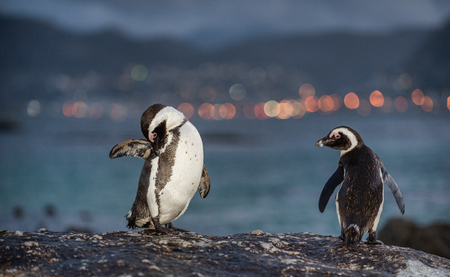 jackass: African penguins on the stone in evening twilight. African penguin ( Spheniscus demersus) also known as the jackass penguin and black-footed penguin. Boulders colony. South Africa