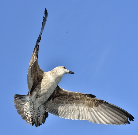 Flying Juvenile Kelp gull (Larus dominicanus), also known as the Dominican gull and Black Backed Kelp Gull. Blue sky Background. False Bay, South Africa Reklamní fotografie