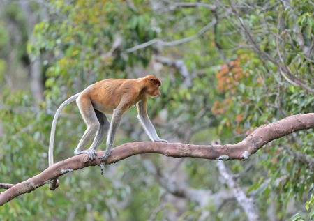 Jumping on a tree Proboscis Monkey in the wild green rainforest on Borneo Island. The proboscis monkey (Nasalis larvatus) or long-nosed monkey, known as the bekantan in Indonesia
