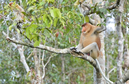 Male of Proboscis Monkey sitting on a tree in the wild green rainforest on Borneo Island. The proboscis monkey (Nasalis larvatus) or long-nosed monkey, known as the bekantan in Indonesia