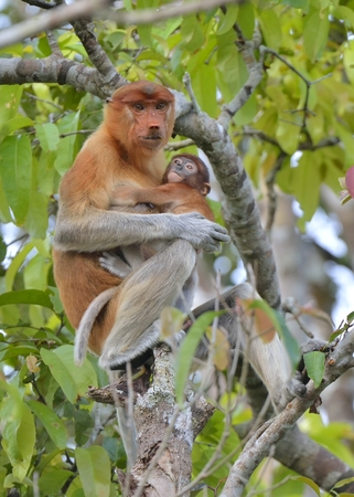nasal: A female proboscis monkey (Nasalis larvatus) feeding a cub on the tree in a natural habitat. Long-nosed monkey, known as the bekantan in Indonesia. Endemic to the southeast Asian island of Borneo. Indonesia