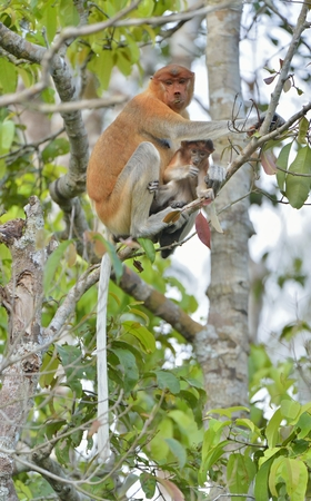 A female proboscis monkey (Nasalis larvatus) feeding a cub on the tree in a natural habitat. Long-nosed monkey, known as the bekantan in Indonesia. Endemic to the southeast Asian island of Borneo. Indonesia