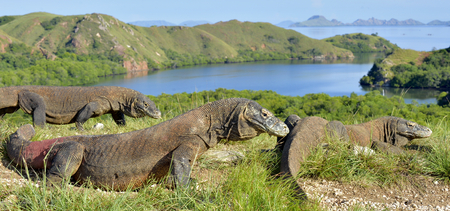 forked: Komodo dragon ( Varanus komodoensis ) in natural habitat. Biggest living lizard in the world.  island Rinca. Indonesia.