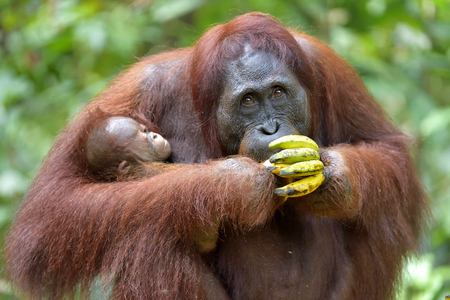 Eating Orangutan mother and cub. In a natural habitat. Bornean orangutan (Pongo pygmaeus wurmbii) in the wild nature. Rainforest of Island Borneo. Indonesia. Stock Photo