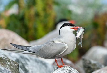 Bird with fish. The Common Tern (Sterna hirundo) is a seabird of the tern family Sternidae. Stock Photo