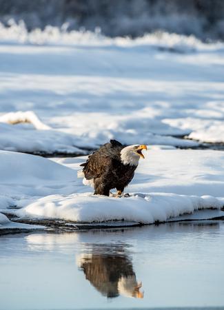 The Shouting Bald eagle ( Haliaeetus leucocephalus ) on the snow. Alaska